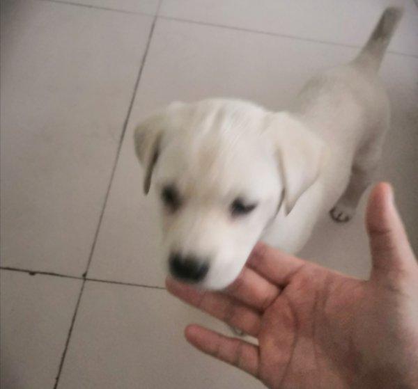 拉布拉多混血幼犬